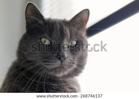 serious gray cat portrait