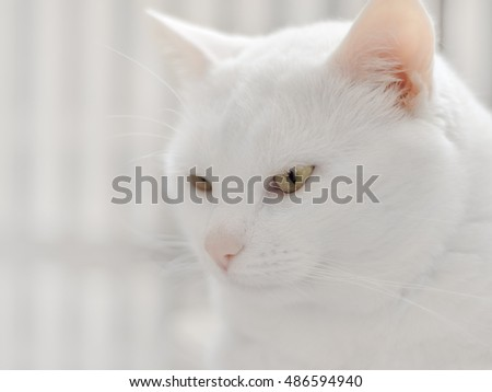 Serious white cat in soft focus is  looking ahead