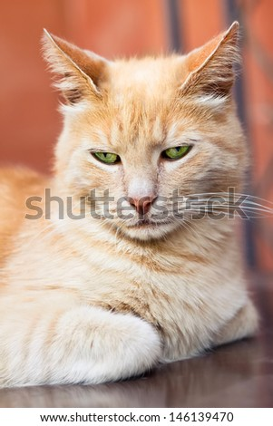 seriously beautiful red cat close up