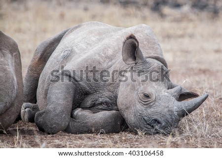 Seriously injured white rhinoceros calf in the Kruger National Park, South Africa - stock photo