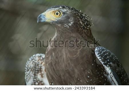 Serpent Eagle, Crested Serpent Eagle(Spilornis cheela) - stock photo