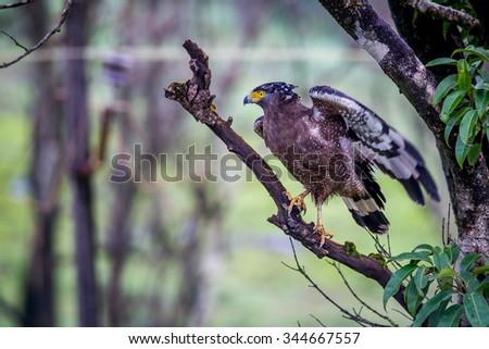 Serpent eagle ready to take off