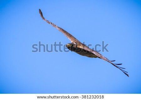 Serpent Eagle soaring in the blue sky - stock photo