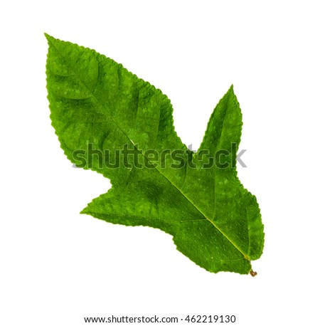 Serrated leaf closeup with isolated white background