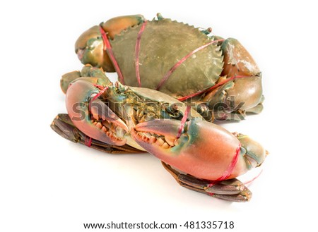 Serrated mud crab, Mangrove crab, Black crab, Giant mud crab.a sea crab on white background