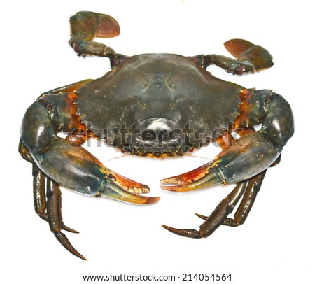Serrated mud crab ( Serrated mud crab, Mangrove crab, Black crab, Giant mud