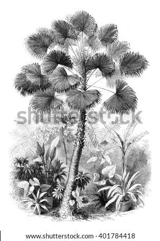 Serre from Jardin des Plantes, Latanier flowers, vintage engraved illustration. Magasin Pittoresque 1857. - stock photo