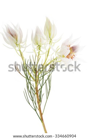 Serruria florida or Pride of Franschhoek flower on white - stock photo