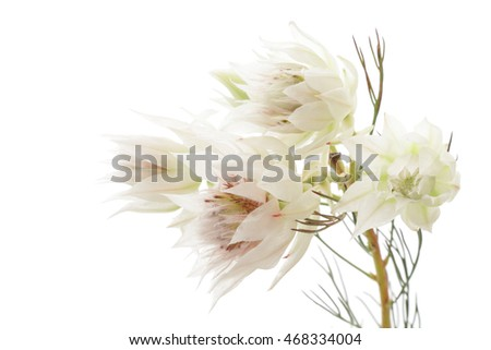 Serruria isolated on white background