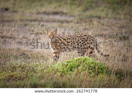 Serval - stock photo