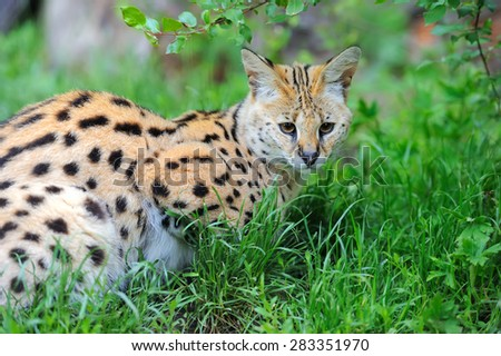 Serval cat (Felis serval) walking in the natural environment - stock photo