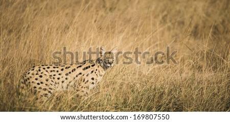 Serval cat in Masai Mara, Kenya  - stock photo