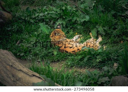 serval cat  lying in grass - stock photo