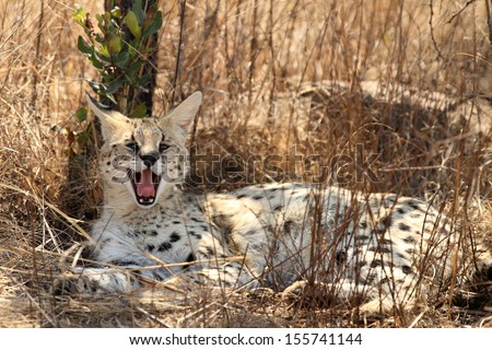 Serval cat lying in grass yawing, showing teeth - stock photo