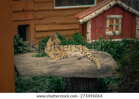 serval cat  lying on a log - stock photo