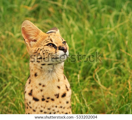 Serval Cat taken at the Wildlife Heritage Foundation, Ashford, Kent, UK/ Watching/ Taken on July 2014