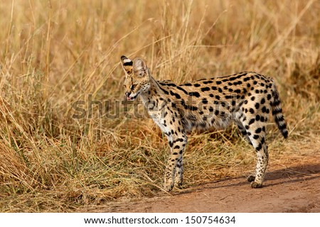 Serval cat with very long legs in Masai Mara, Kenya - stock photo