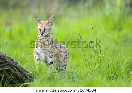 Serval (Leptailurus serval) view of front in the grass