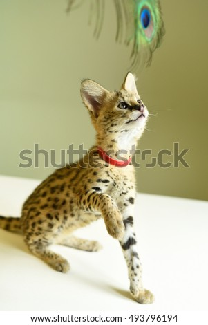Serval luxury kitten on the wooden table.