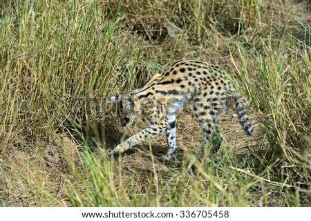 Serval natsionalnm in Tsavo Park in Kenya - stock photo