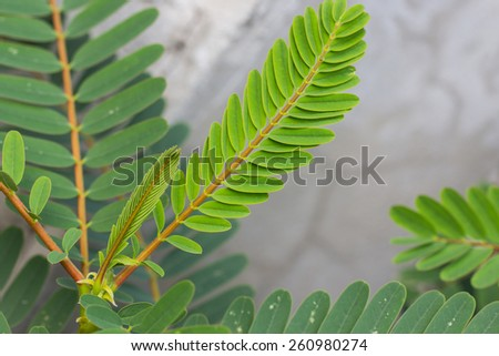 Sesbania grandiflora - stock photo