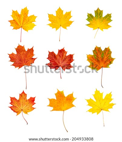 Set collection from many colorful dry autumn maple leaves, isolated on white - stock photo