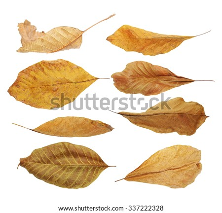 set flying yellow fallen autumn dry leaves walnut  isolated on white background, with clipping path, (high resolution) - stock photo