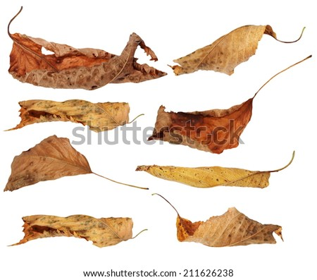 set flying yellow fallen autumn leaves cherry isolated on white background,  with clipping path, (high resolution) - stock photo