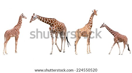 Set from four giraffes in the different poses isolated on a white background - stock photo