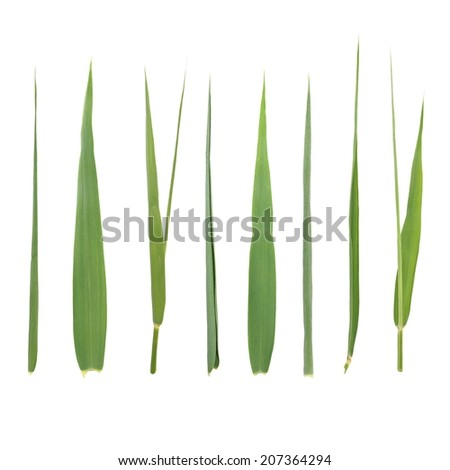 set leaf cane isolated on white background (with clipping path) - stock photo