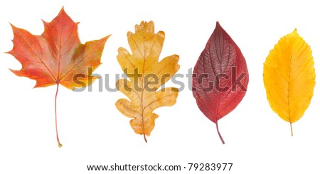 set of autumn leaves, isolated on white background - stock photo