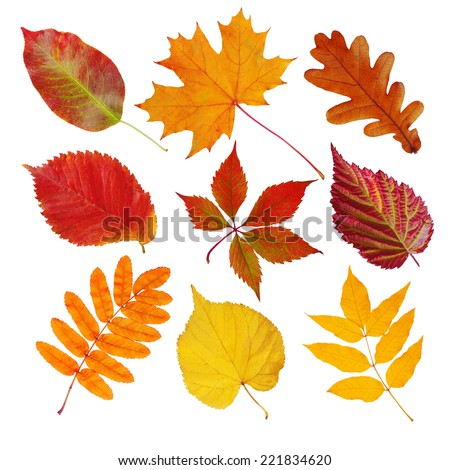 Set of autumn leaves (maple, wild grapes, elm, linden, oak, chestnut tree, rowan, pear) isolated on white - stock photo