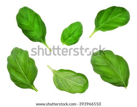 Set of basil leaves isolated on  white background. Design element for product label, catalog print, web use. - stock photo