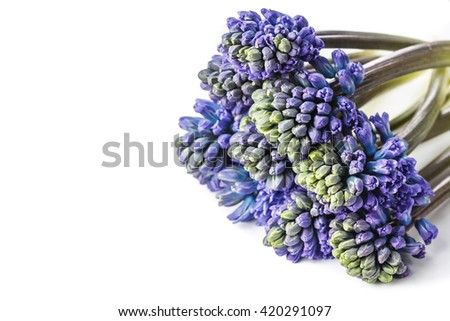 Set of blue HYACINTH flowers on white background. Close-up view High quality photo with space for text. Studio isolated. Ideal for commercial