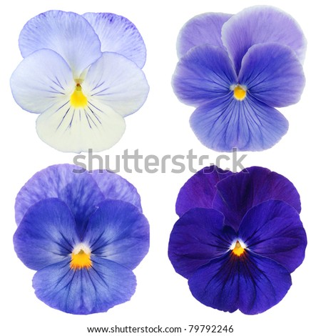 set of blue pansy on white background