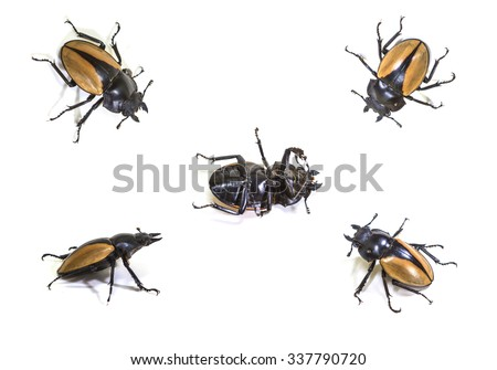 set of  bug in genus Odontolabis on white background