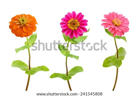 Set of color zinnia flowers isolated on white  - stock photo