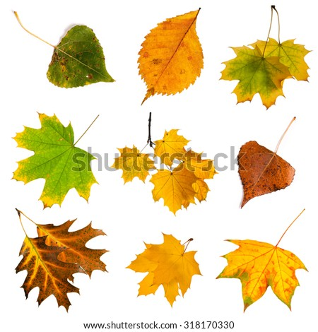 Set of colorful autumn leaves isolated on white. - stock photo