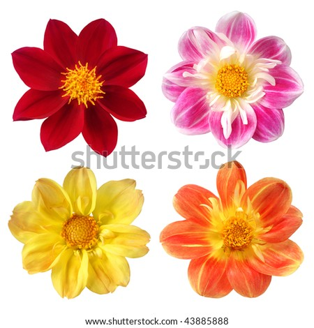 set of colorful dahlia on white background