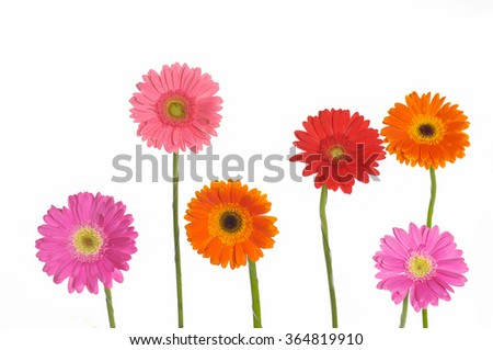Set of colorful gerbera flowers  - stock photo