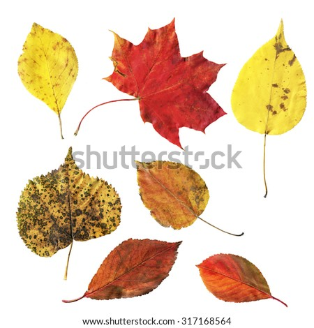 Set of colorful isolated autumn leaves on a white background. Bright fall clipart.  - stock photo
