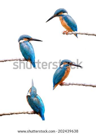 Set of Common Kingfisher isolated on white background.  - stock photo