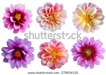 Set of dahlia flower heads isolated on white background - stock photo
