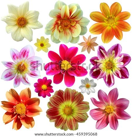 Set of dahlia flower heads isolated on white background