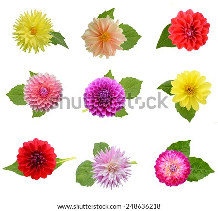 Set Of Dahlia Flower Heads With Leaf Isolated On White