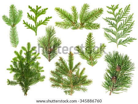 Set of evergreen coniferous tree branches isolated on white background. Spruce, pine, thuja, fir sprigs - stock photo