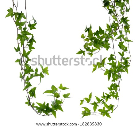 Set of few dense ivy (Hedera) stems isolated on white background. Creeper Ivy stem with young green leaves. - stock photo