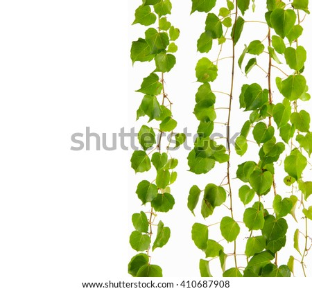 Set of few dense ivy (Hedera) stems isolated on white background. Creeper Ivy stem with young green leaves