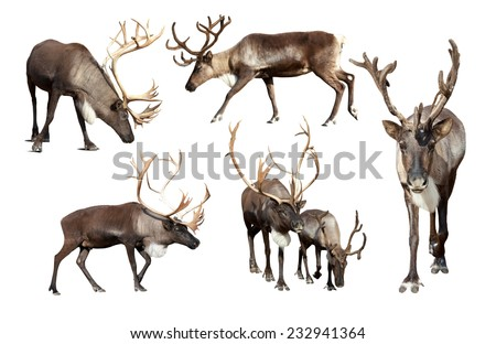 Set of few reindeer (Rangifer tarandus). Isolated over white background - stock photo