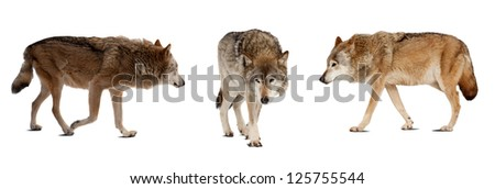 Set of few wolves. Isolated over white background with shade - stock photo
